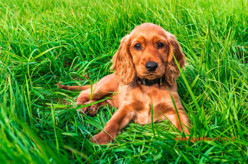 English cocker spaniel puppy lying on the grass